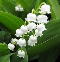 Perennials for Deep Shade, Convallaria majalis, Lily of the Valley