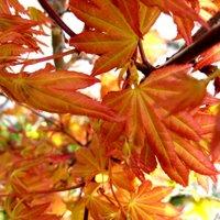 Acer palmatum Sango-kaku, Japanese Coral Bark Maple
