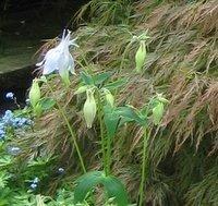 Plants for Dry Shade, Aquilegia vulgaris Nivea, Columbine, Granny's Bonnet