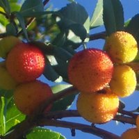 Acid Loving Plants, Arbutus unedo Elfin King, Strawberry Tree