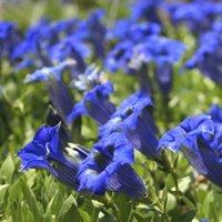 Acid Loving Plants, Gentiana sino-ornata, Gentian