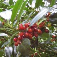Trees for Clay Soil, Ilex aquifolium JC van Tol, Holly