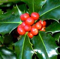 Evergreen  Trees for Shade, Ilex aquifolium, English Holly, Common Holly