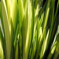 Acid Loving Iris pseudocorus Variegata, Flag Iris