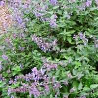 Nepeta fassenni, or Cat Mint, grows in sandy soil