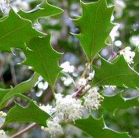 Osmanthus heterophyllus, False Holly