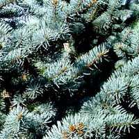Acid Loving Conifers, Picea pungens Koster, Koster's Blue Spruce