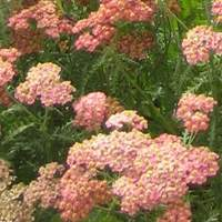 Plants that grow in sandy soil: Achillea