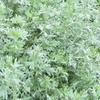 Perennials for sandy soil, Artemisia absinthium Lambrook Silver