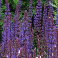 Salvia nemorosa Caradonna is a favourite perennial for sandy soils