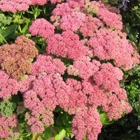 Sedum Herbstfreude or Autumn Joy grows in sandy soil