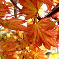 Choosing Plants for Container Gardening, Acer palmatum, Japanese Maple