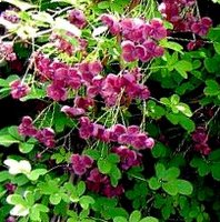 Climbers For Chalk Soil, Akebia quinata, Chocolate Vine