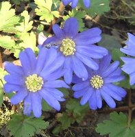 Plants for Partial Shade, Anemone blanda
