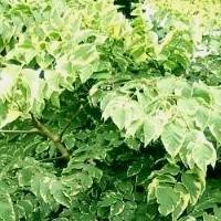 Deciduous Shade Tolerant Trees, Aralia elata Variegata,