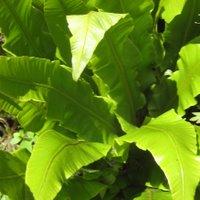 Ferns for Container Gardening, Asplenium scolopendrium, Hart's Tongue Fern