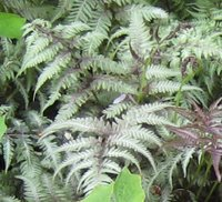 Ferns for Partial Shade, Athyrium niponicum var. pictum, Japanese Painted Fern