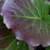 Plants for Chalk Soil, Bergenia Ballawley, Elephant Ears