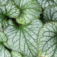 Plants for Deep Shade, Brunnera macrophylla Jack Frost, Siberian Bugloss