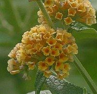 Shrubs for Chalk Soil, Buddleia weyeriana Sungold, Butterfly Bush