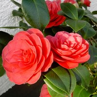 Shrubs for Containers, Camellia japonica, Camellia