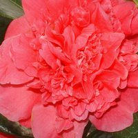 Acid Loving Shrubs, Camellia williamsii Anticipation