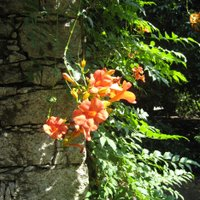 Campsis tagliabuana Madam Galen, Trumpet Vine, is a good climber for sandy soil