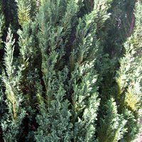 Good Trees for Containers, Chamaecyparis lawsoniana Chilworth Silver, Lawson Cypress