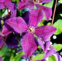Climbers for Clay Soil, Clematis Polish Spirit