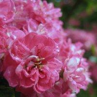 Plants for Clay Soil, Crataegus laevigata Paul's Scarlet, Hawthorn, Pinkthorn
