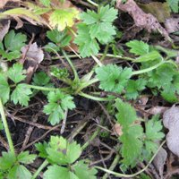 Controlling Lawn Weeds, Creeping Buttercup