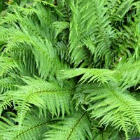 Ferns for Dry Shade, Dryopteris filix-mas, Male Fern