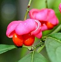 Plants for Chalk Soil, Euonymus europaeus Red Cascade, Spindle Bush