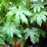 Fatsia japonica, Japanese Aralia