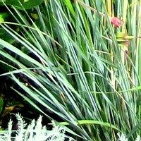 Container Grasses, Festuca glauca, Sheep's Fescue, Blue Fescue