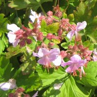Dry Shade Perennials, Geranium macrorrhizum Ingwersen's Variety, Cranesbill