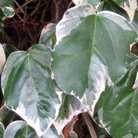 Hedera colchica Dentata Variegata, Persian Ivy