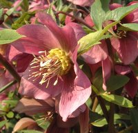 Plants for Partial/Light Shade, Helleborus orientalis, Lenten Rose