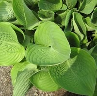 Hosta Royal Standard, Plantain Lily