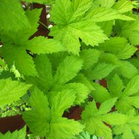 Humulus lupulus Aureus, the Golden Hop, is a vigorous climber for sandy soil