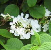 Plants for Clay, Hydrangea anomola subsp petiolaris, Climbing Hydrangea