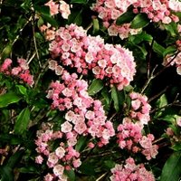 Plants For Acid Soil, Kalmia latifolia Olympic Fire, Calico Bush, Mountain Laurel