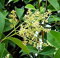Trees for Chalk Soil, Ligustrum lucidum, Chinese Privet, White Wax Tree