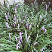 Liriope muscari, Big Blue Lily-turf