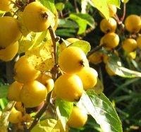 Clay Tolerant Trees, Malus zumi Golden Hornet, Crab Apple