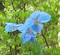 Perennials For Acid Soil, Meconopsis betonicifolia, Tibetan Blue Poppy
