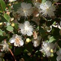 Myrtus communis, Common Myrtle