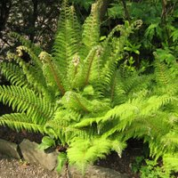 Polystichum setiferum, Soft Shield Fern