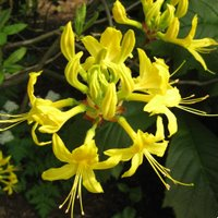 Acid Loving Rhododendron luteum, Deciduous Azalea, Pontic Azalea, Honeysuckle Azalea