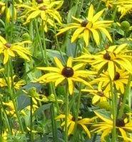 Rudbeckia fulgida var. sullivantii Goldsturm, Black-Eyed Susan
